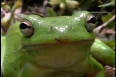 A bright green frog rests in a forest. Stock Footage