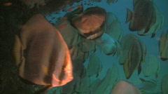 Round batfish platax orbiculares under a wreck in Philippines Stock Footage