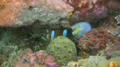 Clarks anemonefish, Amphiprion clarkii in an anemone in the Philippines - stock footage