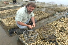 A man measures the individual clams of the day's catch. Stock Footage