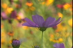 Close up of a purple wildflower swaying in the breeze. Stock Footage