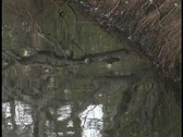 An alligator hovers with his eyes just above the water in a Florida swamp. Stock Footage
