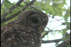 A spotted owl looks down from his perch in a tree. Stock Footage