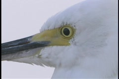 A white egret bird tilts and nods its head. Stock Footage