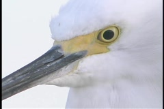 A white bird stares into the distance. Stock Footage