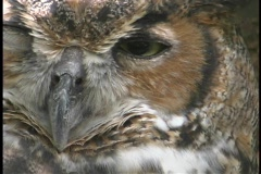 A large Owl stares past the camera. Stock Footage