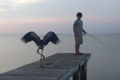 A boy fishes on a dock near a Great Egret. Stock Footage