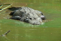 An alligator stalks prey in shallow water. Stock Footage