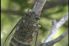 A cicada rests on a tree branch. Stock Footage