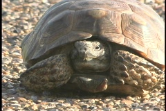 A large tortoise rests on a rocky beach. Stock Footage