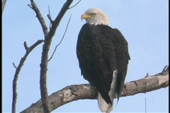 A bald eagle surveys its surroundings while perching on a tree branch. Stock Footage
