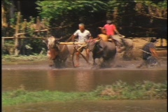 A contestant participates in a water buffalo race in Sumbawa, Indonesia. Stock Footage