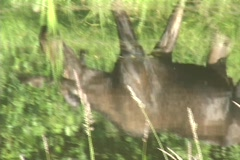 A Moose grazes on water plants at the edge of a lake. Stock Footage