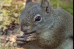 A squirrel eats a nut. Stock Footage