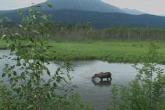 A moose grazes on aquatic vegetation. - stock footage