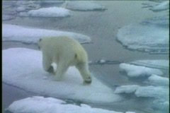 A polar bear runs across ice floes. Stock Footage