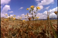Yellow wildflowers in a field blow in the breeze. Stock Footage