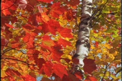 Brilliant red and gold leaves sway in the wind. - stock footage