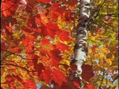Brilliant red and gold leaves sway in the wind. Stock Footage