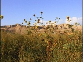 Stock Video Footage of Sandstone cliffs rise beyond yellow wildflowers.