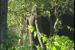 A wild Asian Indian elephant walks through a densely wooded area. - stock footage