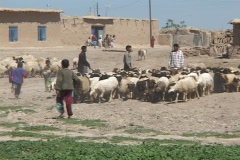 Young Iraqi men and boys herd sheep on a farm in rural Iraq. Stock Footage