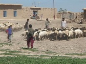 Stock Video Footage of Young Iraqi men and boys herd sheep on a farm in rural Iraq.