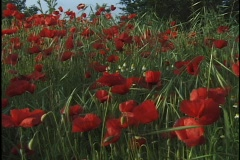 Red flowers sway in a field. Stock Footage