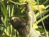 Stock Video Footage of A sloth slowly makes its way down slender tree branches.