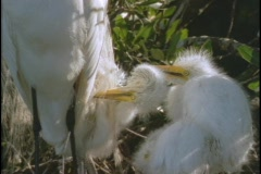 An egret watches her baby chicks in her nest. Stock Footage