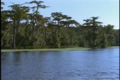 Mullet fish jump out of a lake in Florida's Everglades National Park. Stock Footage