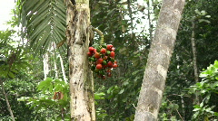 Fruit of the Chontaduro or peach palm (Bactris gasipaes)  Stock Footage