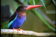 A kingfisher surveys its surroundings in a Borneo rainforest, in Malaysia, - stock footage