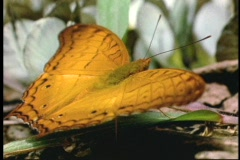 A butterfly flaps its wings as it rests on a leaf on the ground. Stock Footage
