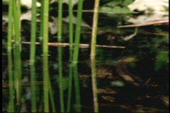 A bull frog floats in a rainforest pond. Stock Footage