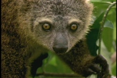 A Bear Cuscus stares at the camera in Borneo, Indonesia. Stock Footage