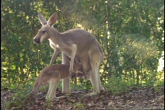 A kangaroo investigates its mother's pouch in the Australian outback. Stock Footage
