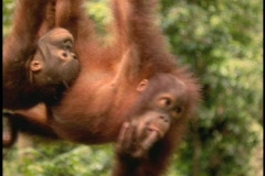 An orangutan and its baby hang upside down in Sabah, Borneo. Stock Footage