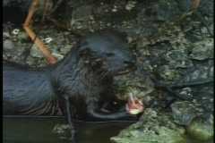 An otter eats a fish head. Stock Footage