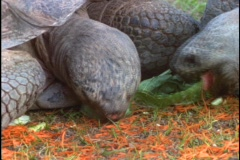 Tortoises munch on leaves. Stock Footage