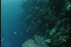 Tropical fish swim along a coral reef. Stock Footage