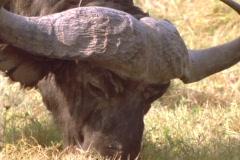 A water buffalo grazes in Africa. Stock Footage