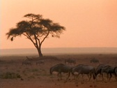 Stock Video Footage of Wildebeests walk across the African savannas.
