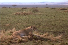 A lioness lounges on the plains in Kenya, Africa. Stock Footage