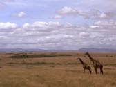 Giraffes stand on the plains of Kenya, Africa. Stock Footage