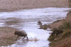 Wildebeests cross a river in Kenya, Africa. - stock footage