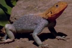 An iguana suns on a rock. Stock Footage