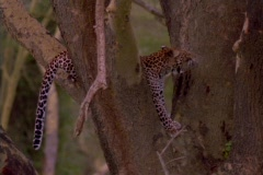 A cheetah rests in the crook of a tree. Stock Footage