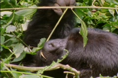 A gorilla munches on branches in Rwanda, Africa. Stock Footage