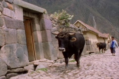 A lockdown shot of farmers and cows walking along a cobblestone street in a Stock Footage